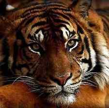 3D NOUVEAUTÉS Diamant mosaïque Kit Full square Painting Diamond Tiger/Tigre