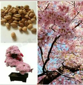 Cherry Blossom Tree, Japanese Sakura Fower, Beautiful Pink  6 seeds