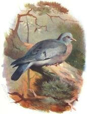 BIRDS. Stock Dove  1901 old antique vintage print picture