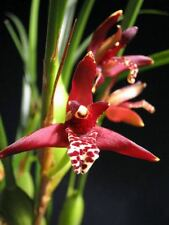 Orchid plant Maxillaria tenuifolia specimen size species orchid