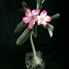 Adenium obesum,  desert rose plant