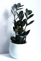 Zamioculcas zamifolia raven,  ZZ plant black House plant 50cm tall