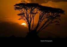 Acacia Tree Sunset, Amboselli National Park, Kenya 11 x 14 Print Metallic Paper