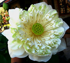 Sacred Pleanum Lotus - White (nelumbo nucifera) 4 Reliable Viable Seeds