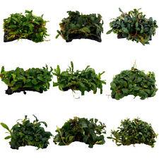 Bucephalandra auf Platte, Bucephalandra Wasserpflanze, Aquarium Aquascaping