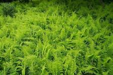 Hay-Scented Fern 100 Bare Root Rhizomes Free Shipping