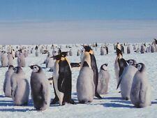 """Gathering.Plenty of Penguins"" /Post Card/ (T13)"