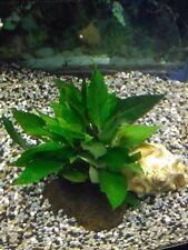 Mini Kirschblatt Vordergrundpflanze Bonsaikirschblatt Zwergkirschblatt Aquarium