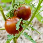 Black Prince Tomato Seeds, 30 Seeds, BUY 2 GET 1 FREE, NON GMO, FREE SHIPPING
