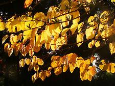 KATSURA TREE Cercidiphyllum japonicum tree AUTUMN COLOURS young plants