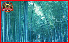 200+ Fresh Blue Bamboo Seeds With Instructions * Bambusa Chungii * HARDY & RARE