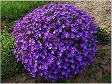 50+ Purple rock Cress Aubrieta Flower Seeds / Perennial