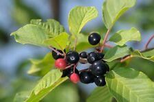 Alder Buckthorn (frangula alnus,  rhamnus frangula) 15 seeds
