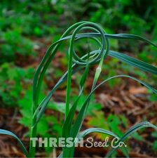 Garlic Scapes 50 Bulbils + Free Gift