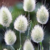BUNNYTAIL SEED LAGURUS OVATUS ORNAMENTAL GRASS FLOWERING LANDSCAPE 200 SEEDS