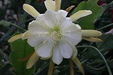 """Epiphyllum Chichicastenango Crenatum 1 ~CUTTING~ 7"""" Long Orchid Cactus Succulent"""