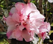 2 LIVE PLANTS 1' ROSE OF SHARON HIBISCUS ALTHEA BUSH DOUBLE PINK FLOWERS ROOTED