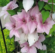 Pink Clematis 200 PCS Home Garden Potted Climbing Flower Seeds Planting