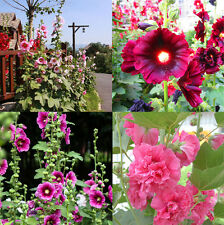 100Pcs Hot Sale Hollyhock Carnival Mixed Flower Seeds For Home Garden Plant HK89