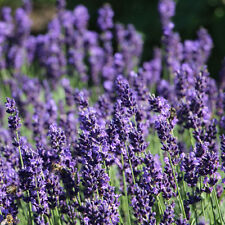 English Lavender Plants x 100. Extra Strong. Height:17-20cm. Free Delivery!