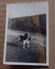 Photograph Social History Spaniel In The Garden  1930's