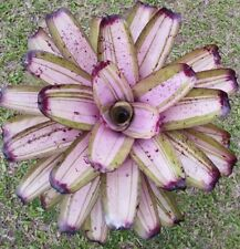 Neoregelia Heavy Traffic