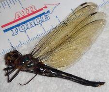 Rare Odonata Dragonfly species Malaysia #X66 Damselfly Insect Fairy Wings
