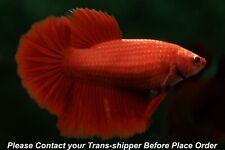 Super Red female Halfmoon High Quality fish#B039/ 3.5 mo/ body size 1.5''