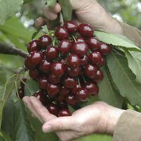 STELLA Cherry ORGANIC Fruit Tree Dwarf for patios and pots 10 UK EU SEEDS