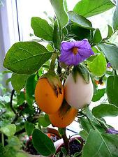 """AUBERGINE weiß """"Dourga""""Eierpflanze, lila Riesenblüte im Shop viele Samen ab 1 €"""