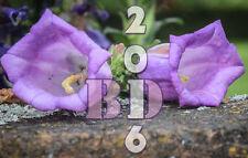 CANTERBURY BELLS MIX - CAMPANULA MEDIUM - Appx 500pcs seeds Original Packing_103