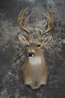 Whitetail taxidermy shoulder mount for sale SKU 1842