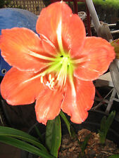 HIPPEASTRUM  FLOWER RECORD  X  1  FLOWERING  SIZE BULB .