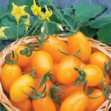 Jersey Sweet Golden Grape Tomato Seeds! COMB. S/H  SEE OUR STORE!