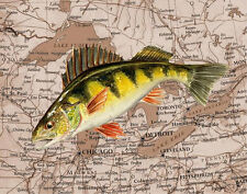 Perch & Great Lakes watercolor Picture Map 8X10 Fish art print by Barry Singer