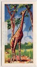 Giraffe Africa Vintage Trade Ad Card