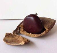 10 seeds Giant Entada Rheedll African Sweet Dream Rare Climber Forest Bean