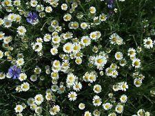Purple and White Berkheya Multipack 2 x 10 Seeds Large perennial daisies