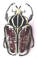 Beetle, Cetonidae, Goliathus goliatus Forma? Mâle Ex Cameroun, size: 72,33 mm k3