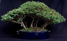 12 semi di THUJA ORIENTALIS (albero della vita) TUIA per bonsai