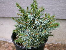 "Rare Spruce 4yr ""Tight Buns"""