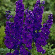 25+ DELPHINIUM GIANT PACIFIC BLACK KNIGHT 5-6 FT PERENNIAL Larkspur FLOWER SEEDS