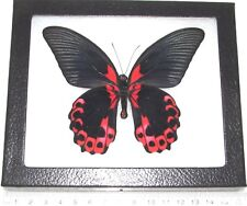 Papilio rumanzovia Real Framed Butterfly Red Pink Philippines