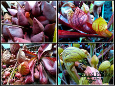 sarracenia super mix, pitcher plant, 200+ seeds