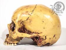 Menschlicher totenkopf Skelett Modell Anatomie Lehrmodell mayer skull schädel