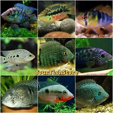 x25 ASSORTED SOUTH AMERICAN CICHLIDS SM/MD - FRESH WATER LIVE FISH FREE SHIPPING