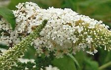 Buddleia asiatica | Winter Lilac | White Butterfly Bush | 20 Seeds