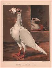 Cassell Pigeon, White Carrier Cock, Chromolithograph, Antique, original 1876