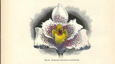 Stampa antica FIORI ORCHIDEA MAXILLARIA SANDERIANA botanica 1896 Antique print