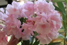 3 Oleander Stecklinge - LOUIS POUGET rose gefüllte Riesenblüten ca 7-8 cm + Duft